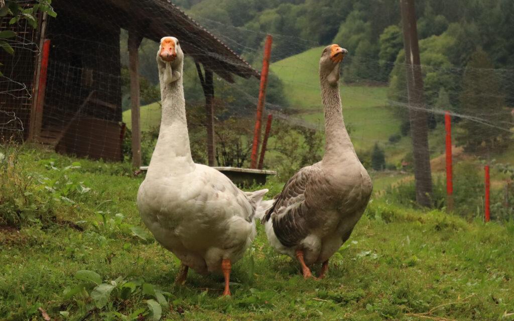 Oies de la Forêt Noire